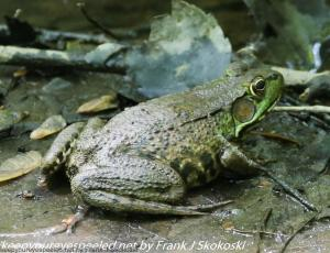 green frog on pond shore