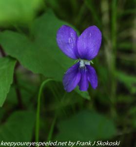 wild blue violet flower