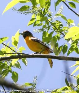 baltimore oriole in tree