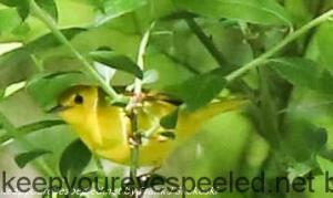 yellow warbler in tree