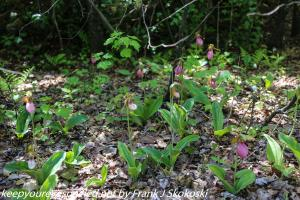 lady slipper orchid or duck flower