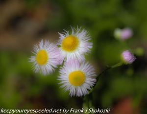 white daisy like flower