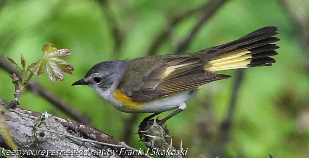 State Gamelands 119 birds (22 of 26)