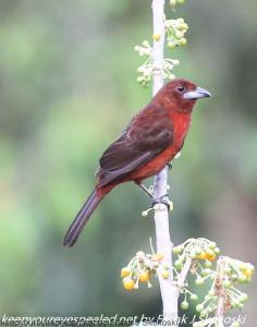 female silver beaked tanager on tree
