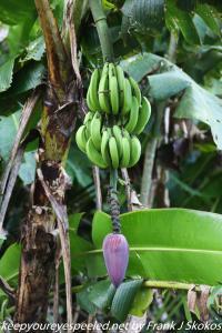 wild banana tree with fruit