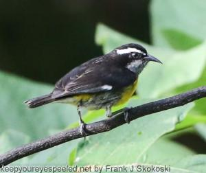 bananaquit on branch