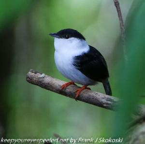 white bearded manakin