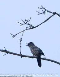 catbird singing in tree
