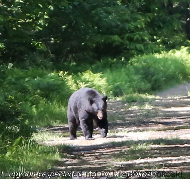 State game Lands bear (2 of 14)