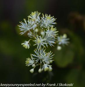 meadow rue flower