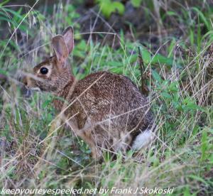 rabbit in brush