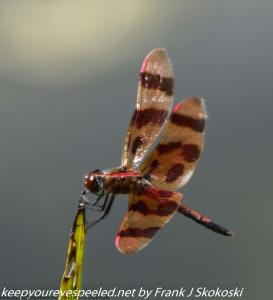 brown dragonfly on twig