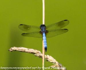 blue dragonfly on reed