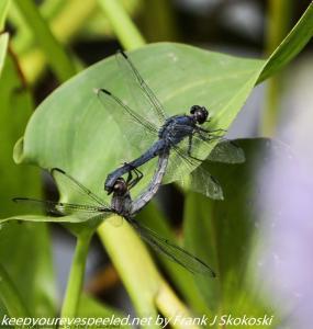 dragonflies on leaf