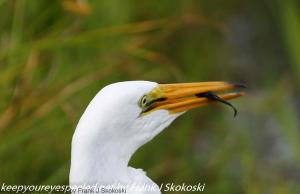 egret eating fish