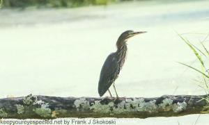 heron on log in wetlands late summer