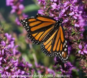 butterfly on purple loosestrife