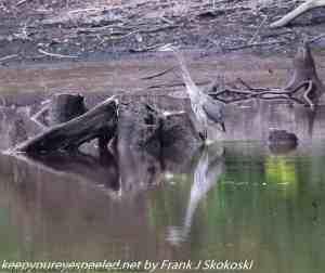 blue heron wading in lake