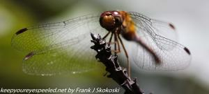dragonfly insects walk