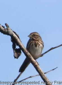 song sparrow in tree