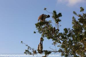 pelicans in tree in everglades