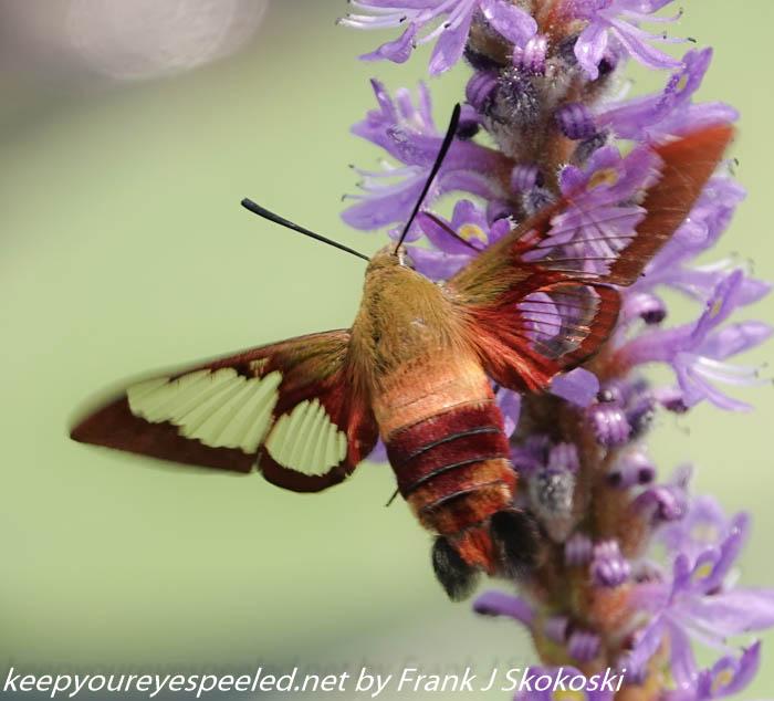 hummingbird moth (9 of 23)