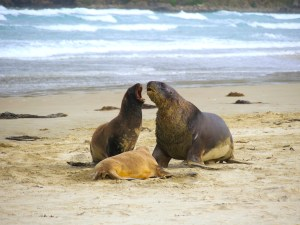 Catlins Sealions
