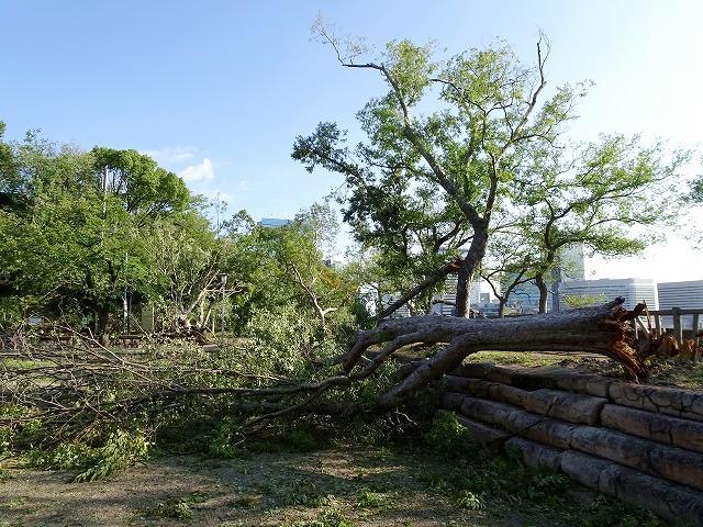 台風で折れた大木