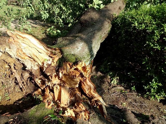 台風で倒れる木