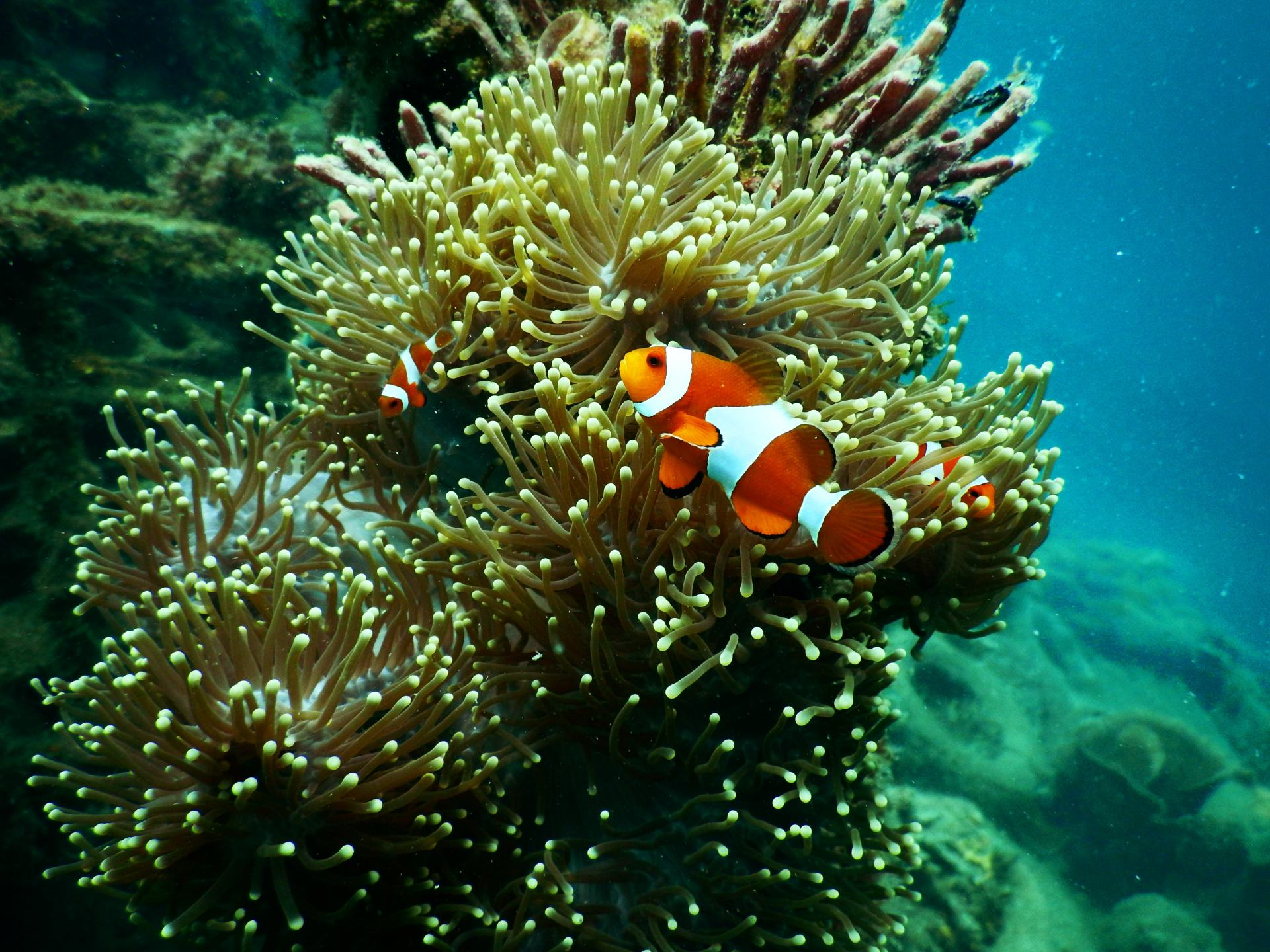 aquarium-aquatic-clown-fish-1125979.jpg