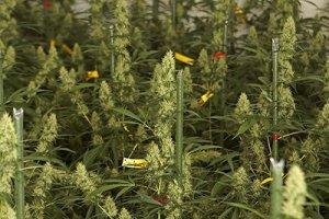 14 verschiedene Sorten sollen in Heerlen zertifiziert und geduldet angebaut werden, das wäre mehr als bei Bedrocan - Foto: Bedrocan
