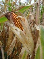 Nur noch Mais auf den Feldern CC BY-SA 3.0 by Silverije