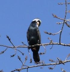 Shag/Cormorant preening