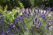 Lavender (Hidcote Blue)