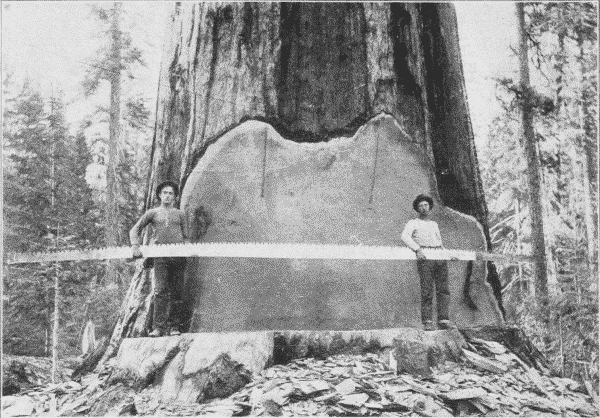 Loggers with 25' Crosscut Saw. Early Mendocino logging.