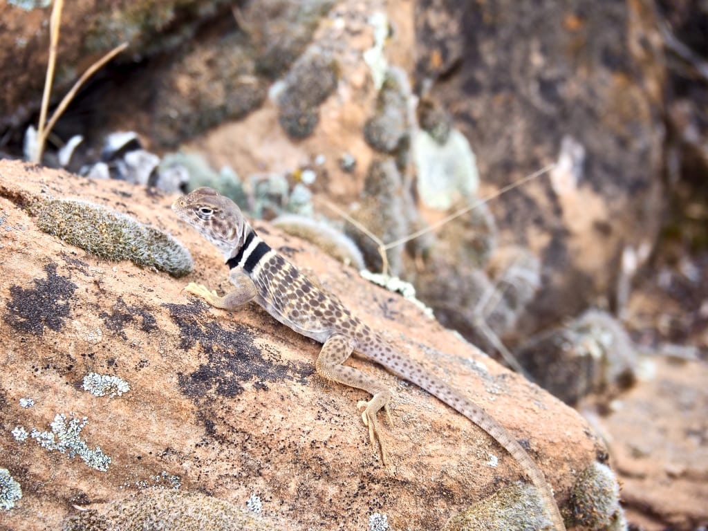 Lots of lizards in southern Utah