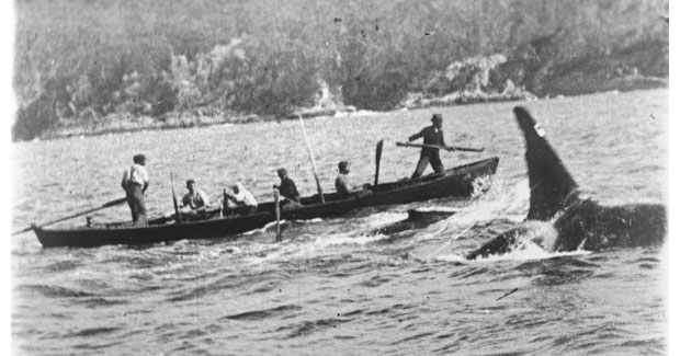 A picture of a whale hunt at Eden, NSW.