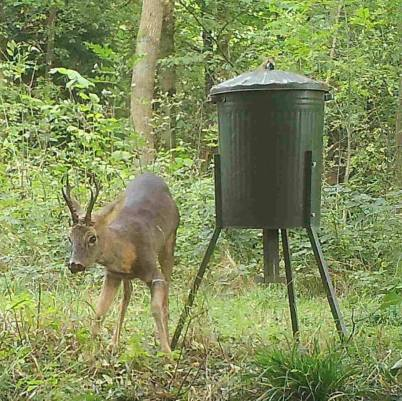 Roe buck on trail cam