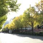 山下公園前の黄葉色付き始めました