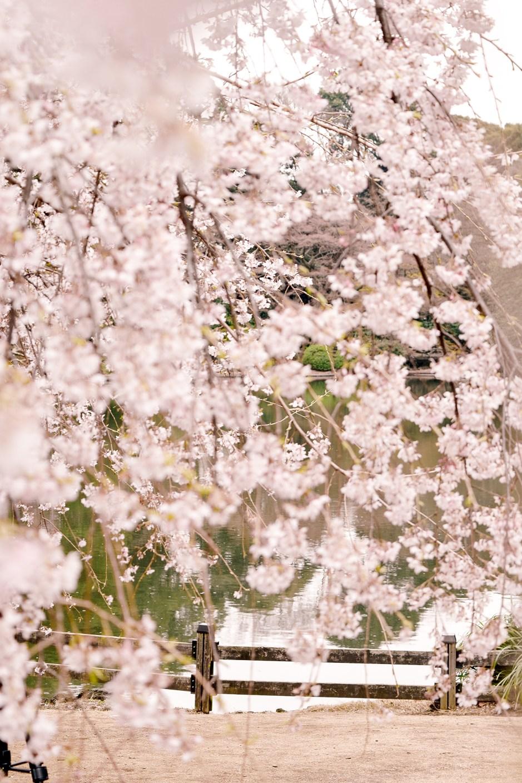 The ever early-blooming shidarezakura