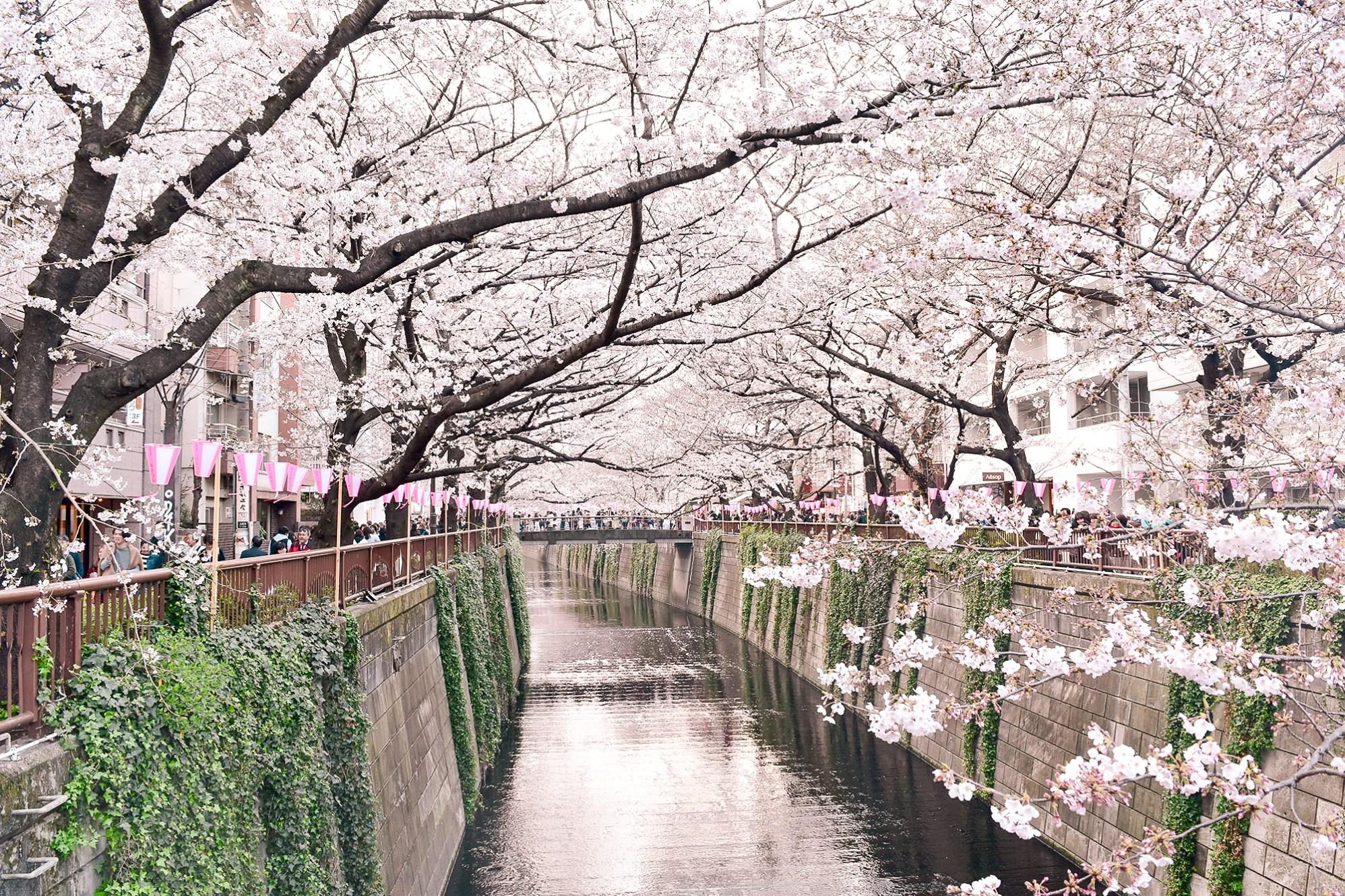Cherry Blossoms along Meguro River