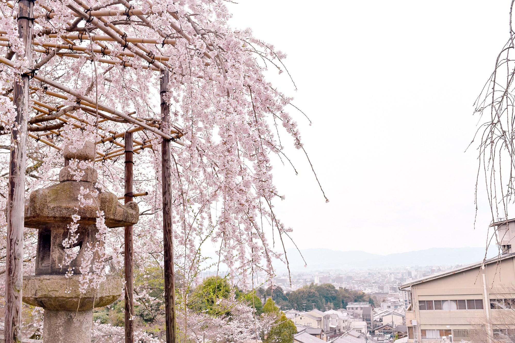 Weeping sakura in Kiyomizu-dera