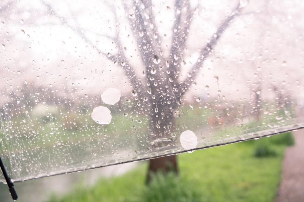 Sakura petals and rain