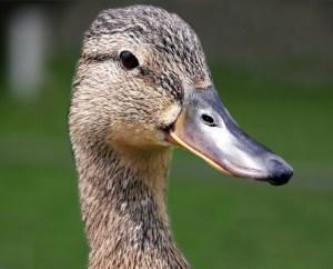 Keizer Feerwerd - Watervogels