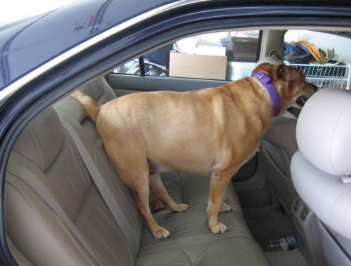 How to Steady Your Dog in the Car