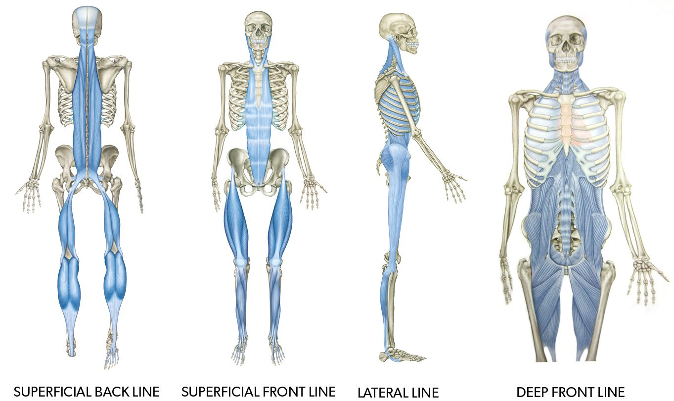 Funky Tom Myers Anatomy Trains Courses Pattern - Human Anatomy ...