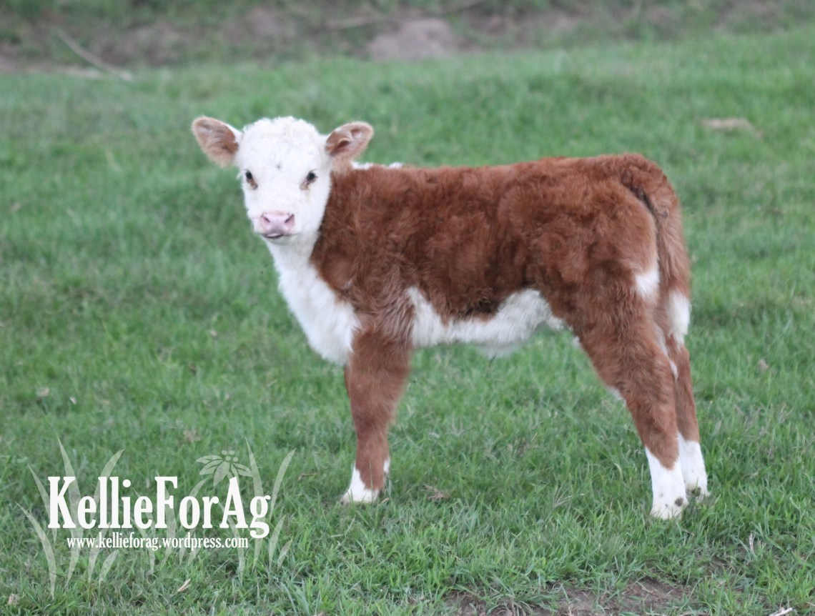 Caroline is Otis' daughter and my first Miniature Hereford heifer. I couldn't possibly love her anymore! Otis does good work.