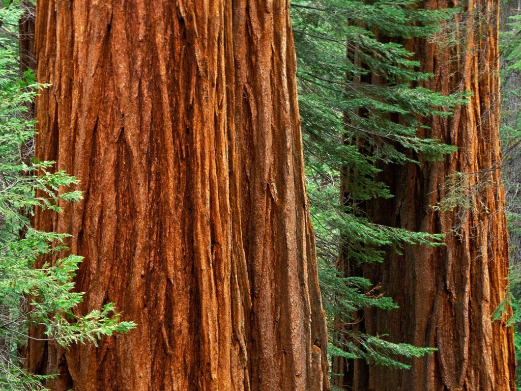 Hug A Tree, And Marvel At The Wonders Of Nature Redwood