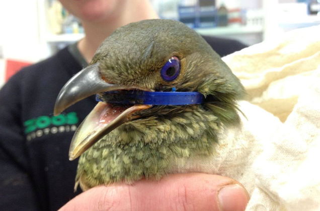 Here is a native Bower Bird again suffering the consequences of human havoc. A plastic blue bottle lid ring is caught around this beautiful birds neck, before Zoo Victoria staff removed it. Photo supplied by Zoos Victoria and Healesville Sanctuary.
