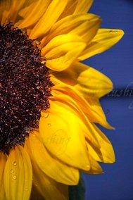Sunflower Part